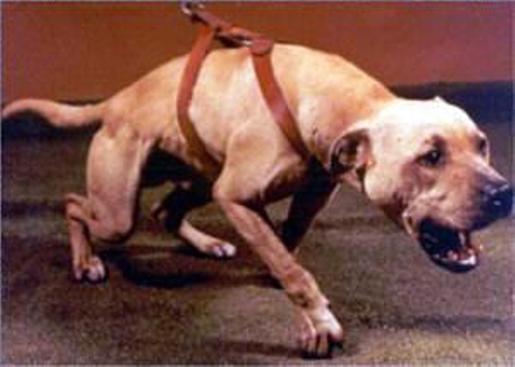 lies in society pitbull terrier essay Lets look at the past of the american pit bull terrier in the past, pit bulls were used as war dogs to sniff out bombs, in many occasions they have saved peoples lives one, whose name was sgt stubby, saved an entire platoon by warning them of a poison gas attack as well as capturing a german spy, he was crowned war hero.